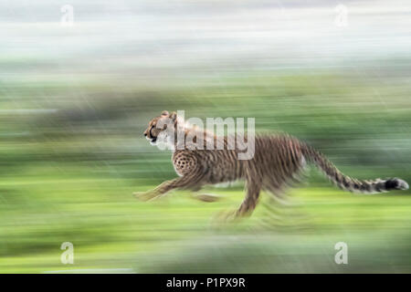 Cheetah (Acinonyx jubatus) running through the rain in a blurred panning motion; Tanzania - Stock Photo