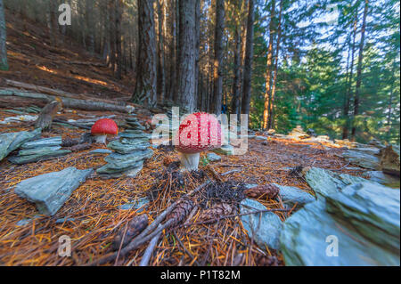 POISONOUS MUSHROOMS AND STACKING STONES. Poisonous mushroom with brightly red color cap and white spots flake grows among stacking stones in a forest.
