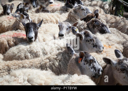 Flock of North Country Mule sheep in farmyard waiting to be sheared, Stow-on-the-Wold, Cotswolds, Gloucestershire, England, United Kingdom, Europe - Stock Photo