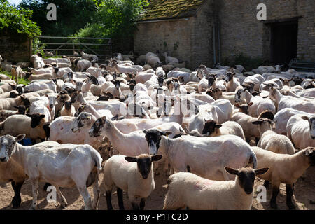 Flock of North Country Mule sheep in farmyard after being sheared, Stow-on-the-Wold, Cotswolds, Gloucestershire, England, United Kingdom, Europe - Stock Photo