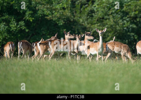 herd of fallow deer - Stock Photo