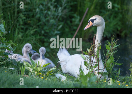 Mute swan and cygnets - Stock Photo