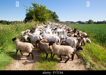 Flock of North Country Mule sheep being herded back to pasture after being sheared, Stow-on-the-Wold, Cotswolds, Gloucestershire, England, UK - Stock Photo