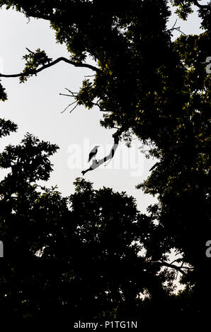 Silhouette of Carrion Crow on a branch amongst  trees - Stock Photo