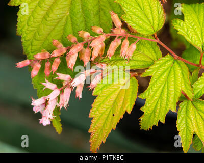 Small pink flowers of the hardy deciduous thicket forming shrub, Neillia thibetica - Stock Photo