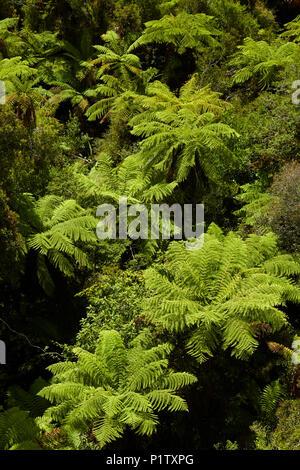 Tree-ferns seen from Treetop walk, near Hokitika, West Coast, South Island, New Zealand - Stock Photo