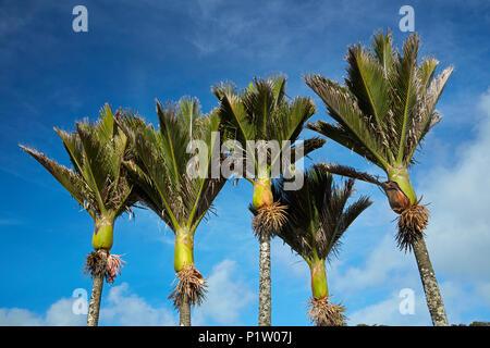 Nikau Palms, Punakaiki, Paparoa National Park, West Coast, South Island, New Zealand - Stock Photo