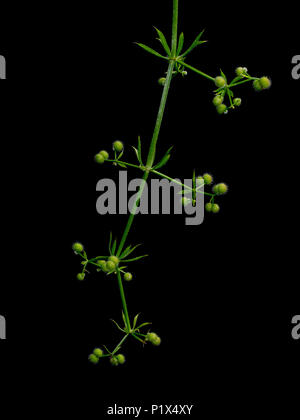 Galium aparine aka goosegrass, cleavers. Hairy, sticky, clingy plant, weed. Detail isolated on black. - Stock Photo