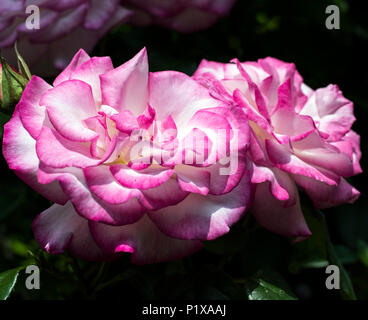 Beautiful pink and white bicolour (bicolour) roses in a garden - Stock Photo