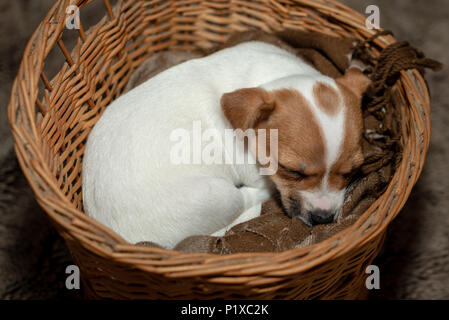 Jack Russell puppy sleeping in a wicker basket. - Stock Photo