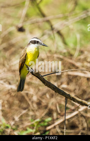 Pantanal region, Mato Grosso, Brazil, South America.  Lesser Kiskadee resting on a branch. - Stock Photo