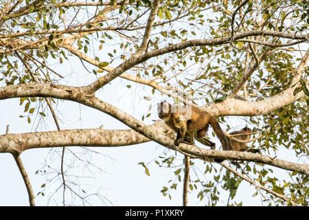 Pantanal region, Mato Grosso, Brazil, South America.   Black-capped Capuchin monkeys climbing in a tree - Stock Photo