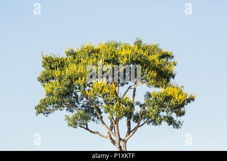 Pantanal region, Mato Grosso, Brazil, South America.  Vochysia divergens tree in bloom along the Cuiaba River. - Stock Photo