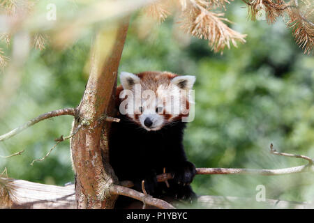 China. Province of Yunnan. Russet-red panda (Ailurus fulgens) in a tree. - Stock Photo