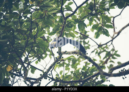 giant black squirrel on tree in Khao Yai National Par, vintage filter image - Stock Photo