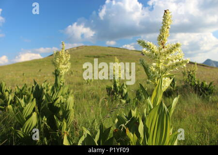 false helleborine plants (Veratrum  album - lobelianum) on the Maglich mountain in Montenegro - Stock Photo