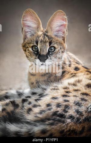 Similar Breed To Savannah Cats In Australia