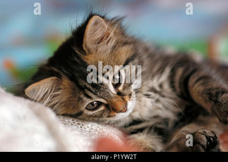 Seine et Marne. Close up of a female kitten aged 9 weeks lying on a bed. Norwegian cat breed. - Stock Photo