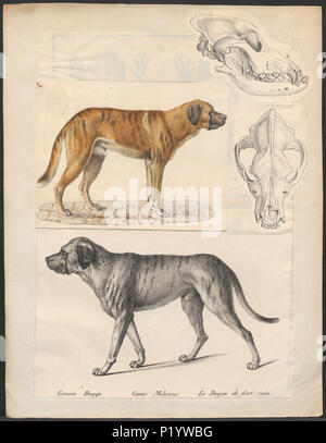 . Canis lupus familiaris. A print of a dog, and a canine skull with prognathism (undershot bite). Image text: Grosse Dogge. Canis Molossus. Le Dogue de fort race. between 1700 and 1880 49 Canis lupus familiaris - 1700-1880 - Print - Iconographia Zoologica - Special Collections University of Amsterdam - UBA01 IZ22300192 - Stock Photo