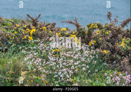 France, Brittany, Ille et Vilaine, Cancale, Pointe du Grouin, heath vegetation - Stock Photo