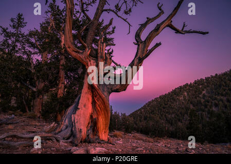 USA, California, Inyo National Forest,Ancient Bristlecone Pine Forest in the White Mountains, Millenary pines - Stock Photo