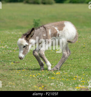 Cute donkey foal trying to stand on wobbly legs in the New Forest national park, Hampshire, UK - Stock Photo