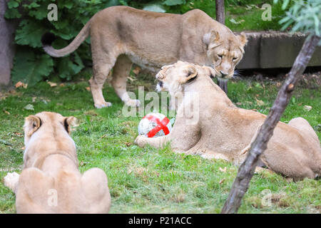 ZSL London Zoo, London, UK, 14th June 2018. ZSL London Zoo's own three lions, Asiatic lion sisters Heidi, Indi and Rubi, show their support for England by practising their football skills ahead of the team's opening World Cup match in Russia. The three-a-side pride kicks off the day in the Land of Lions with their own football, an enrichment designed to encourage their natural skills and decorated with the England flag. Credit: Imageplotter News and Sports/Alamy Live News - Stock Photo