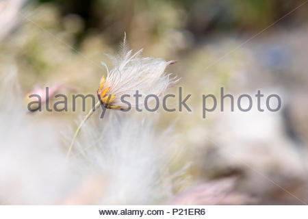 Dryas x suendermannii. Suendermann dryad seed head - Stock Photo