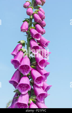 Flowering head of a Foxglove (Digitalis purpurea) plant in summer. Parts used as a medicinal plant in herbal remedies. - Stock Photo