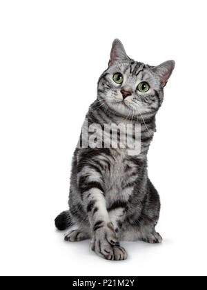 Handsome black silver tabby British Shorthair cat sitting / playing with one paw lifted isolated on white background and looking up - Stock Photo