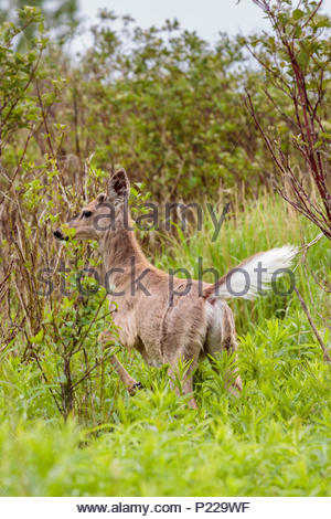 White-tailed deer Odocoileus virginianus flashing tail to communicate danger in Whitby Ontario Canada - Stock Photo