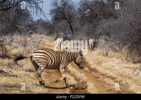herd of zebra crossing path on safari - Stock Photo