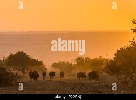 herd of wildebeest graze in the plains underneath a sunrise - Stock Photo