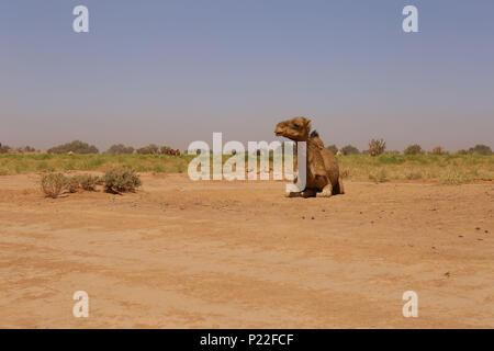 Morocco, M'Hamid, Erg Chigaga, camel in the Sahara desert - Stock Photo