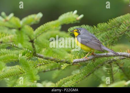 Canada Warbler, Wilsonia canadensis - Stock Photo