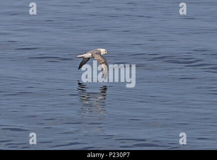 Northern Fulmar (Fulmarus glacialis) adult in flight low over the sea  English Channel                   May - Stock Photo