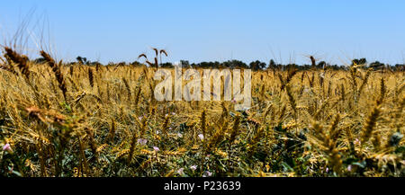 A golden view of a hot summer wheat field ready for harvest - Stock Photo