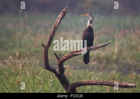 Oriental darter (Anhinga melanogaster) sitting on a tree in Keoladeo Ghana National Park, Bharatpur, India. The park was declared a protected sanctuar - Stock Photo