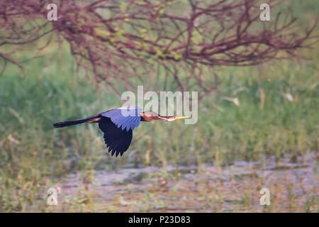 Oriental darter (Anhinga melanogaster) flying in Keoladeo Ghana National Park, Bharatpur, India. The park was declared a protected sanctuary in 1971. - Stock Photo