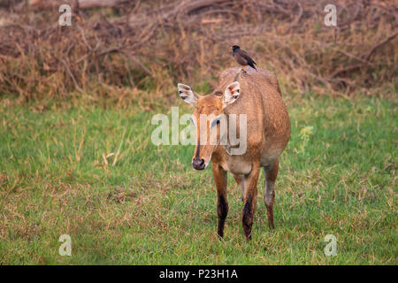 Female Nilgai with Brahminy myna sitting on her in Keoladeo National Park, Bharatpur, India. Nilgai is the largest Asian antelope and is endemic to th - Stock Photo