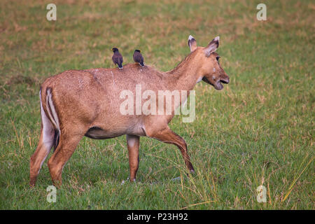 Female Nilgai with Brahminy mynas sitting on her in Keoladeo National Park, Bharatpur, India. Nilgai is the largest Asian antelope and is endemic to t - Stock Photo
