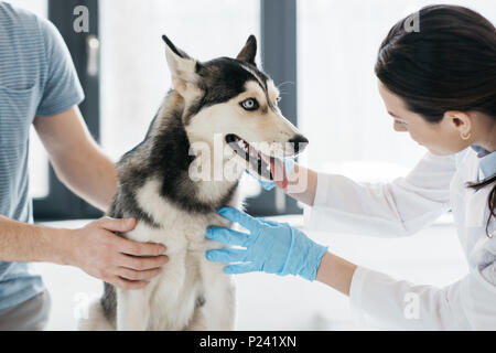 cropped image of man and female veterinarian examining husky in clinic - Stock Photo