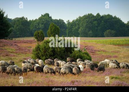 Flock of 'Heidschnucken' (type of German moorland sheep) in Höpen Nature Reserve near Schneverdingen, Lüneburg Heath, Lower Saxony, Germany - Stock Photo