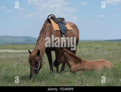 the bay horse with a foal who is grazed on a meadow - Stock Photo