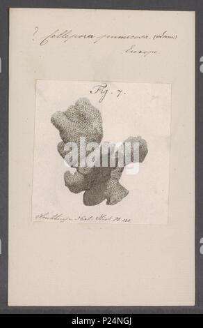 . Cellepora pumicosa  55 Cellepora pumicosa - - Print - Iconographia Zoologica - Special Collections University of Amsterdam - UBAINV0274 093 05 0003 - Stock Photo