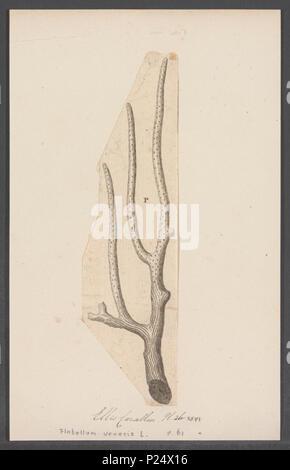 . Flabellum veneris  125 Flabellum veneris - - Print - Iconographia Zoologica - Special Collections University of Amsterdam - UBAINV0274 109 09 0002 - Stock Photo