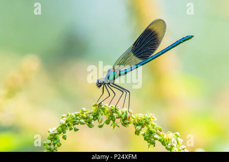 Banded demoiselle, Calopteryx splendens ,male sitting on plant.Staffordshire nature.Stunning british wildlife in summer.Colourful insect details. - Stock Photo