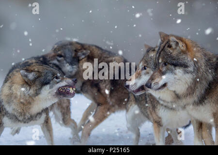 Four wolves in winter, Canis lupus, fighting, snarl, threatening gesture, Bavaria, Germany, Europe - Stock Photo