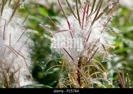 Rosebay Willowherb in seed (chamerion angustifolium, also epilobium angustifolium), close up showing detail of the seeds. - Stock Photo