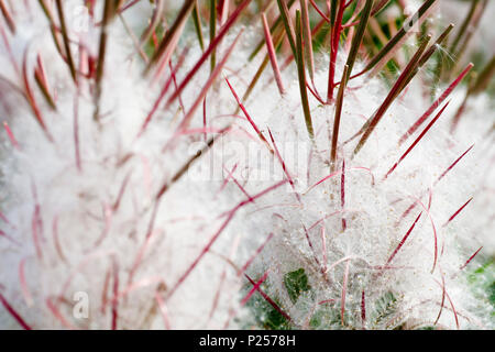 Rosebay Willowherb in seed (chamerion angustifolium, also epilobium angustifolium), close up showing detail of seeds. - Stock Photo